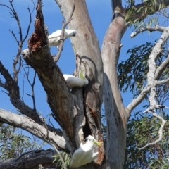 Cacatua galerita (Sulphur-crested Cockatoo) at O'Malley, ACT - 3 Oct 2020 by Mike