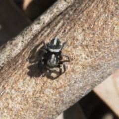 Salpesia sp. (genus) (Salpesia Jumping Spider) at The Pinnacle - 29 Sep 2020 by AlisonMilton