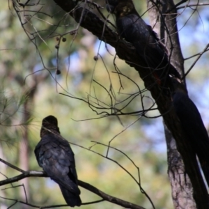Calyptorhynchus lathami at suppressed - 4 Oct 2020