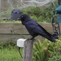 Corvus coronoides (Australian Raven) at Higgins, ACT - 24 Sep 2020 by Alison Milton