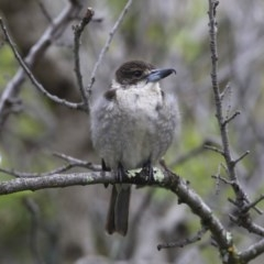 Cracticus torquatus (Grey Butcherbird) at Higgins, ACT - 24 Sep 2020 by Alison Milton