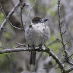 Cracticus torquatus (Grey Butcherbird) at Higgins, ACT - 24 Sep 2020 by Alison Milton