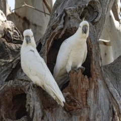 Cacatua galerita (Sulphur-crested Cockatoo) at Googong, NSW - 5 Oct 2020 by WHall
