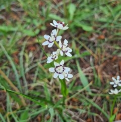 Wurmbea dioica subsp. dioica (Early Nancy) at Fadden, ACT - 4 Oct 2020 by emgee