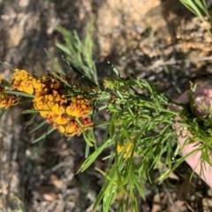 Daviesia leptophylla (Slender Bitter Pea) at Nanima, NSW - 4 Oct 2020 by 81mv