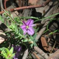 Thysanotus patersonii (Twining fringe lily) at Aranda Bushland - 5 Oct 2020 by Jubeyjubes