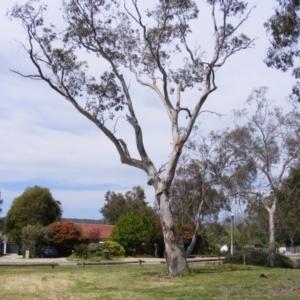 Eucalyptus blakelyi at Curtin, ACT - 5 Oct 2020