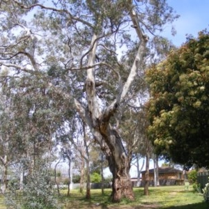 Eucalyptus melliodora at Curtin, ACT - 5 Oct 2020