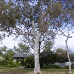 Eucalyptus mannifera at Curtin, ACT - 5 Oct 2020