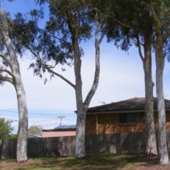 Eucalyptus mannifera (Brittle Gum) at Curtin, ACT - 5 Oct 2020 by MichaelMulvaney