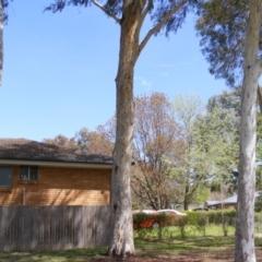 Eucalyptus mannifera at Curtin, ACT - 5 Oct 2020