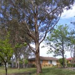 Eucalyptus melliodora at Curtin, ACT - 5 Oct 2020