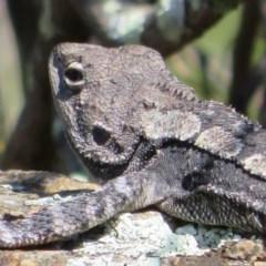 Amphibolurus muricatus (Jacky Lizard) at Coree, ACT - 2 Oct 2020 by Christine