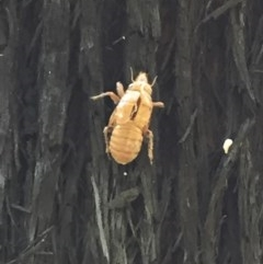 CICADIDAE (Unidentified cicada) at EDM Private Property - 2 Oct 2020 by Evelynm