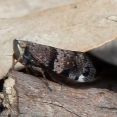 Platybrachys decemmacula (Green-faced gum hopper) at Black Mountain - 5 Oct 2020 by Roger