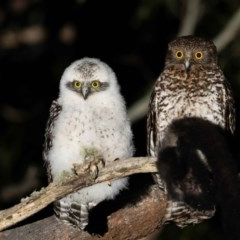 Ninox strenua (Powerful Owl) at Namadgi National Park - 3 Oct 2020 by TyrieStarrs