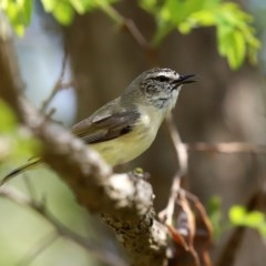 Acanthiza chrysorrhoa (Yellow-rumped Thornbill) at Isabella Pond - 4 Oct 2020 by RodDeb