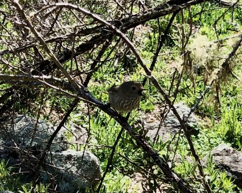 Acanthiza pusilla at Namadgi National Park - 5 Oct 2020