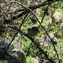 Acanthiza pusilla (Brown Thornbill) at Namadgi National Park - 5 Oct 2020 by KMcCue