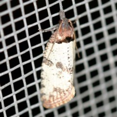 Rupicolana orthias (A tortrix or leafroller moth) at O'Connor, ACT - 4 Oct 2020 by ibaird