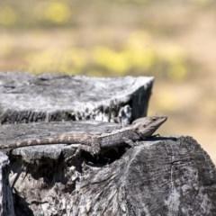 Amphibolurus muricatus (Jacky Lizard) at Penrose, NSW - 28 Sep 2020 by Aussiegall