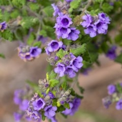 Prostanthera incana (Velvet Mint-bush) at Penrose - 29 Sep 2020 by Aussiegall