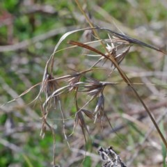 Themeda triandra (Kangaroo Grass) at Dryandra St Woodland - 2 Oct 2020 by ConBoekel
