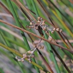 Juncus sp. (A rush) at Dryandra St Woodland - 2 Oct 2020 by ConBoekel