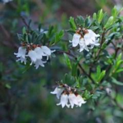 Cryptandra amara (Bitter cryptandra) at Dryandra St Woodland - 2 Oct 2020 by ConBoekel