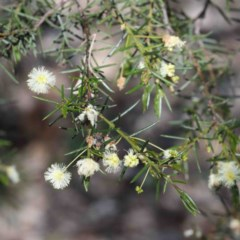 Acacia genistifolia (Early Wattle) at Dryandra St Woodland - 2 Oct 2020 by ConBoekel
