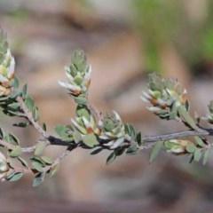 Brachyloma daphnoides (Daphne Heath) at Dryandra St Woodland - 2 Oct 2020 by ConBoekel