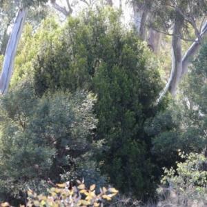Exocarpos cupressiformis at Dryandra St Woodland - 3 Oct 2020