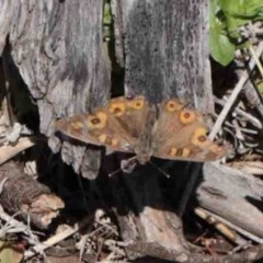 Junonia villida (Meadow Argus) at Dryandra St Woodland - 2 Oct 2020 by ConBoekel