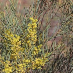 Acacia boormanii (Snowy River Wattle) at Dryandra St Woodland - 2 Oct 2020 by ConBoekel