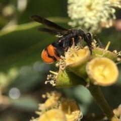 Leucospis sp. (genus) (Leucospid wasp) at ANBG - 1 Mar 2018 by PeterA