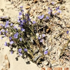 Dampiera stricta (Blue Dampiera) at Wollondilly Local Government Area - 27 Sep 2020 by Wonga