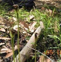 Pterostylis pedunculata (Maroonhood) at - 4 Oct 2020 by Wonga