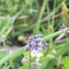 Myosotis discolor (Yellow and Blue Forget-me-not) at Mount Ainslie - 1 Oct 2020 by JaneR
