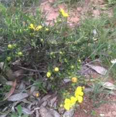 Hibbertia obtusifolia (Grey Guinea-flower) at Majura, ACT - 5 Oct 2020 by JaneR