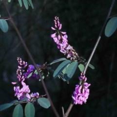 Indigofera australis subsp. australis (Australian Indigo) at O'Connor, ACT - 2 Oct 2020 by ConBoekel