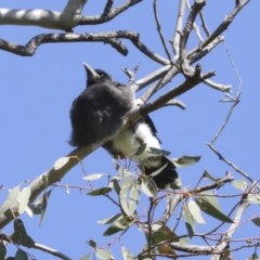 Gymnorhina tibicen (Australian Magpie) at Higgins, ACT - 4 Oct 2020 by AlisonMilton