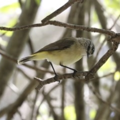Acanthiza chrysorrhoa (Yellow-rumped Thornbill) at Higgins, ACT - 4 Oct 2020 by Alison Milton