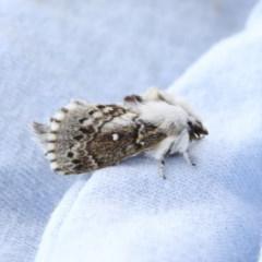 Porela delineata (Lined Porela Moth) at Higgins, ACT - 5 Oct 2020 by AlisonMilton