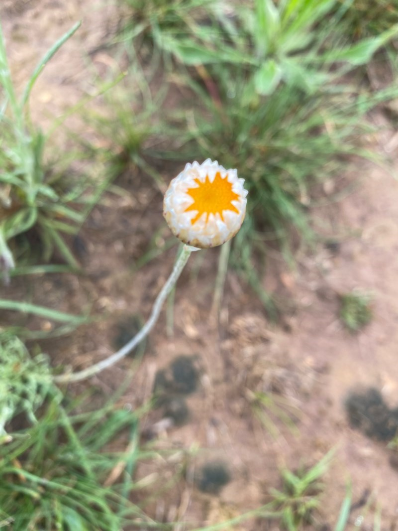 Leucochrysum albicans subsp. tricolor at Deakin, ACT - 6 Oct 2020
