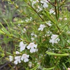 Westringia eremicola (Slender Western Rosemary) at Hughes, ACT - 6 Oct 2020 by KL