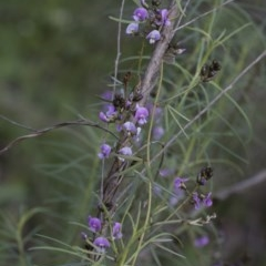 Glycine clandestina (Twining glycine) at The Pinnacle - 23 Sep 2020 by AlisonMilton