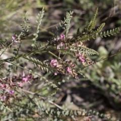 Indigofera adesmiifolia (Tick Indigo) at The Pinnacle - 23 Sep 2020 by AlisonMilton