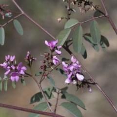 Indigofera australis subsp. australis (Australian Indigo) at Hawker, ACT - 24 Sep 2020 by AlisonMilton