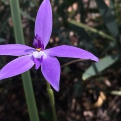 Glossodia major (Wax lip orchid) at Black Mountain - 5 Oct 2020 by YellowButton