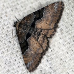 Aporoctena (genus) (A Geometrid moth) at O'Connor, ACT - 4 Oct 2020 by ibaird